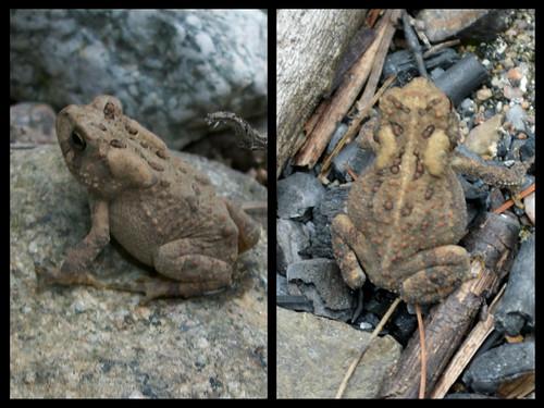 border toads