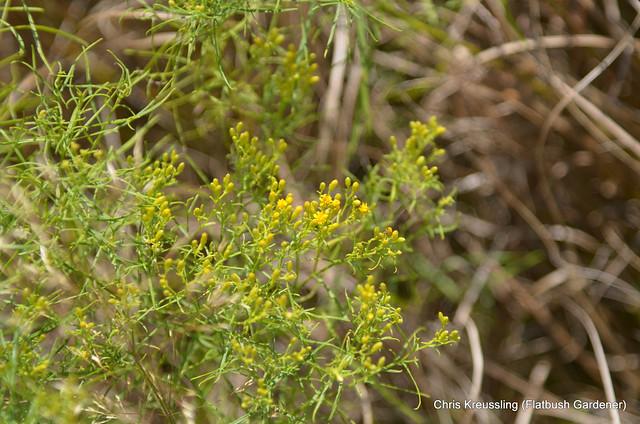 /Euthamia caroliniana/, Slender Goldentop, Flat-top Goldenrod, Hempstead Plains