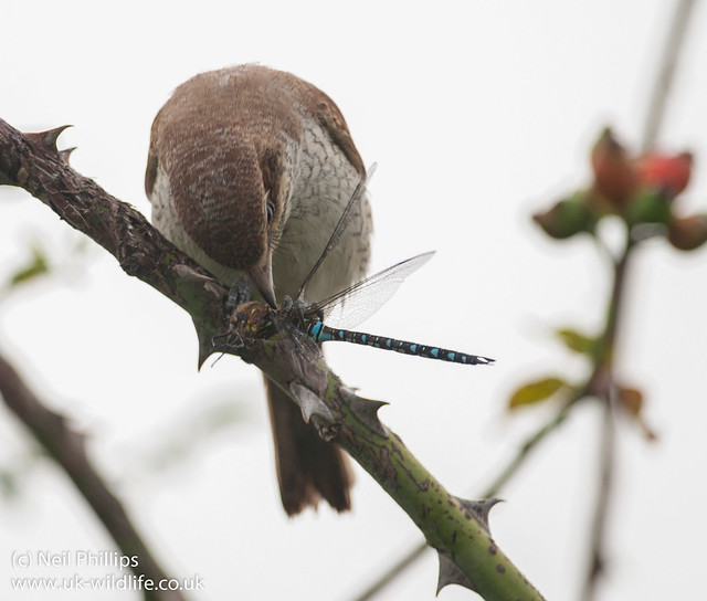 red backed shrike eating migrant hawker-4