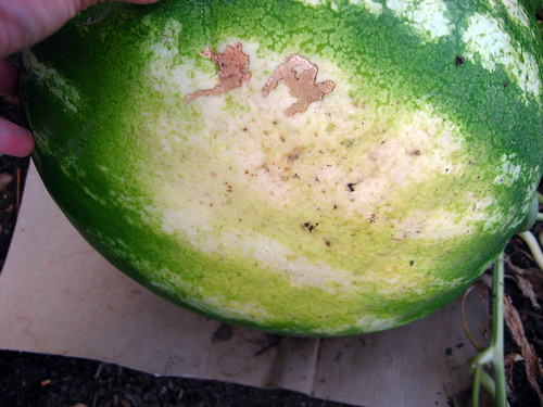 Watermelon ripe 1