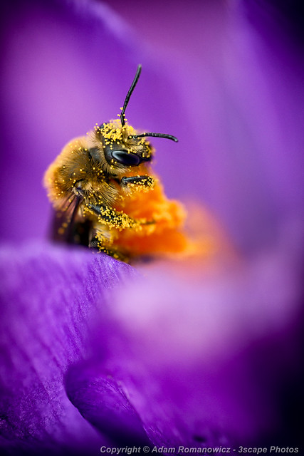 Honeybee Pollinating Crocus Flower