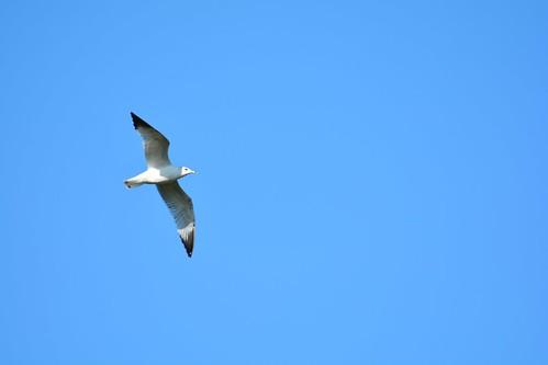 ringed bill gull