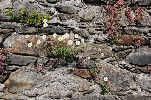 Lago Maggiore Orta flowers in stone wall