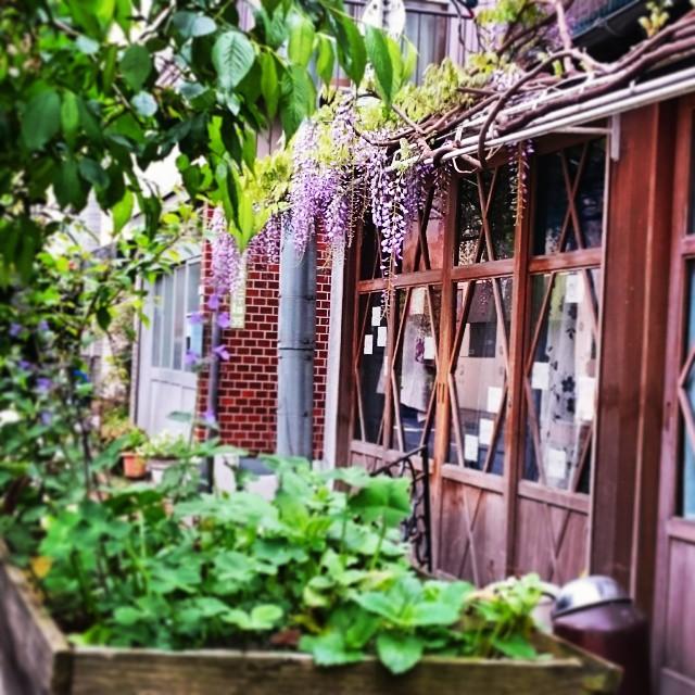 #東京 #谷根千 #緑 #花 #藤 #Tokyo #green #flowers #cane #japan #根津 #春 #spring