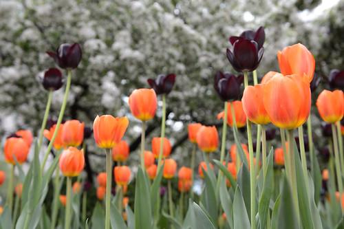 FilipWolak-LSBID-Tulips-6584