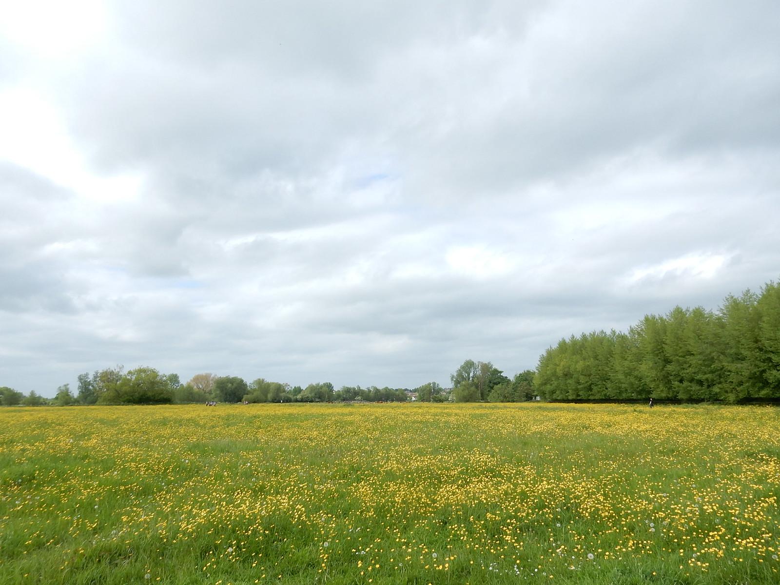 Buttercups on the common Bures to Sudbury