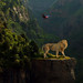 Lion by iblushay : Thank you for visiting and the faves
