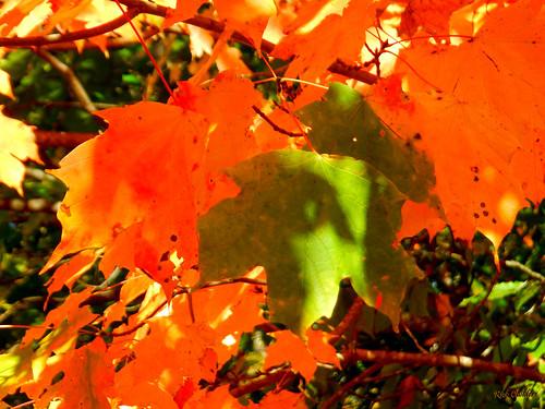 greenandorangefoliage rickchilders rcvernors tree leaves backlitleaves fallfoliage orangeleaf greenleaf sunshine warmfall autumn forest