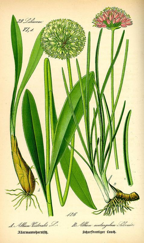 Allium_victorialis