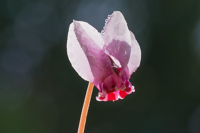 Cyclamen and droplets - Cyclamen et gouttelettes