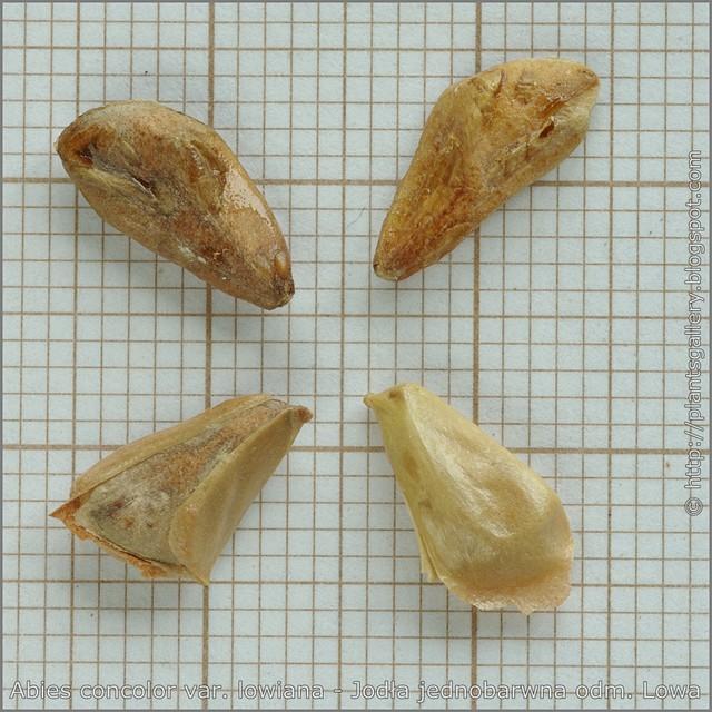 Abies concolor var. lowiana seeds - Jodła jednobarwna odm. Lowa nasiona