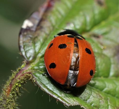 Seven Spot Ladybird  by Andy Pritchard - Barrowford