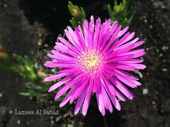 dorotheanthus bellidiformis, annual plant, flower, macro photography, wildflower, flora, close-up, ice plant, pink, petal,