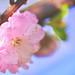 Flowering peach 碧桃