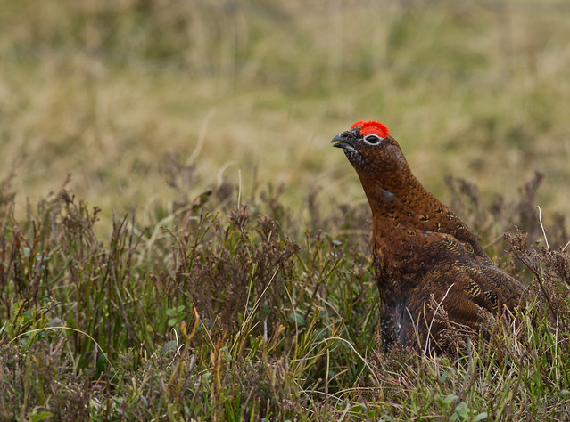 red grouse 5