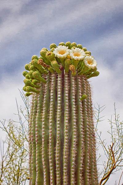 Three Blooms on a Saguaro
