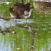 Shoreline Woods & Water - Lesser Yellowlegs
