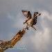 The Osprey Commeth by Michael Pancier Photography