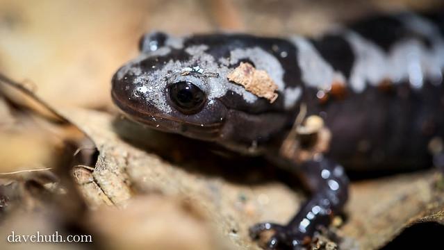 Marbled Salamander (Ambystoma opacum)