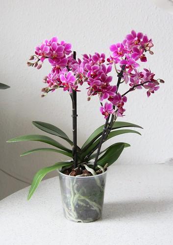 Phalaenopsis Hybride Mini pink