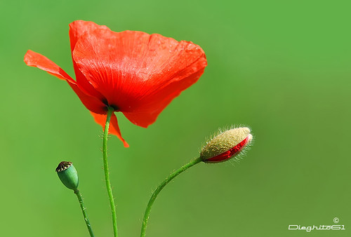 Mary Poppies
