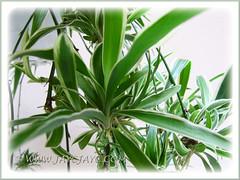 Baby Spider Plants of Chlorophytum comosum 'Variegatum' (White/White-edged Spider Plant, Variegated Spider Ivy)