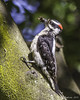 Downy Woodpecker - Male by Bob Gunderson