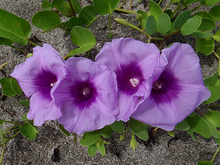 Footing the Beach. Ipomoea pes-caprae, Goat's Foot or Beach Morning Glory, Kuta, Bali, Indonesia