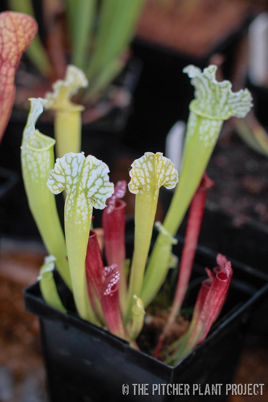 Sarracenia (leucophylla x purpurea heterophylla) x leucophylla AF