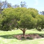 Acacia koaia tree