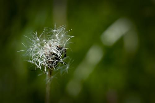 Dandelion I