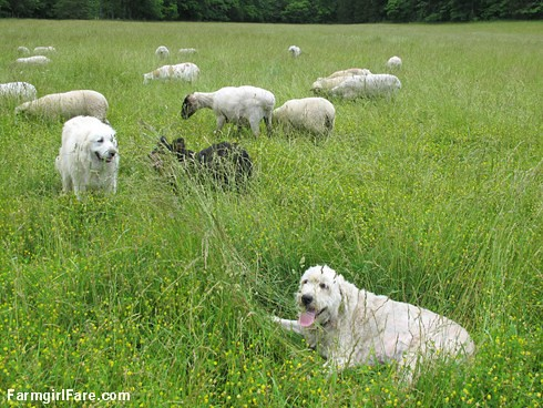 Happy dogs in the front field (4) - FarmgirlFare.com