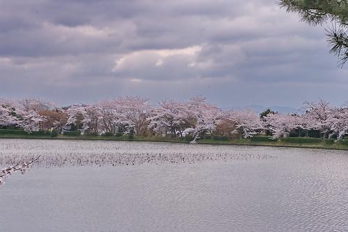 【写真】2013 桜 : 大覚寺/2020-09-15/IMGP9414