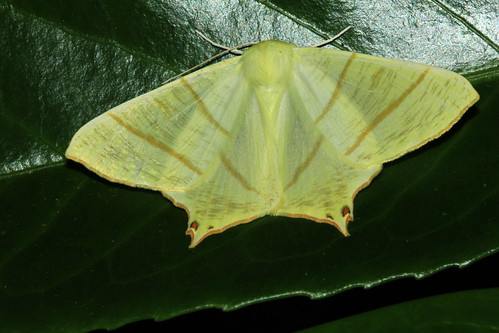1922 Swallow-Tailed Moth 19976