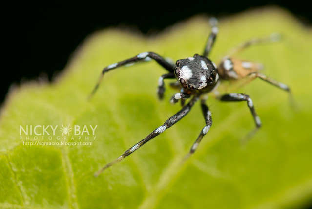 Jumping Spider (Phintella sp.) - DSC_2890