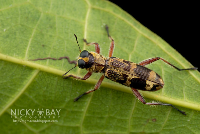 Checkered Beetle (Cleridae) - DSC_3623