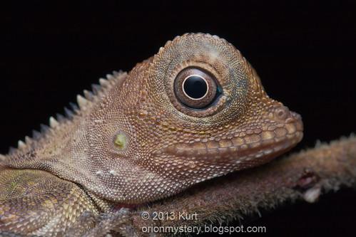 IMG_0121 copy Bell's Anglehead Lizard (Gonocephalus belli)