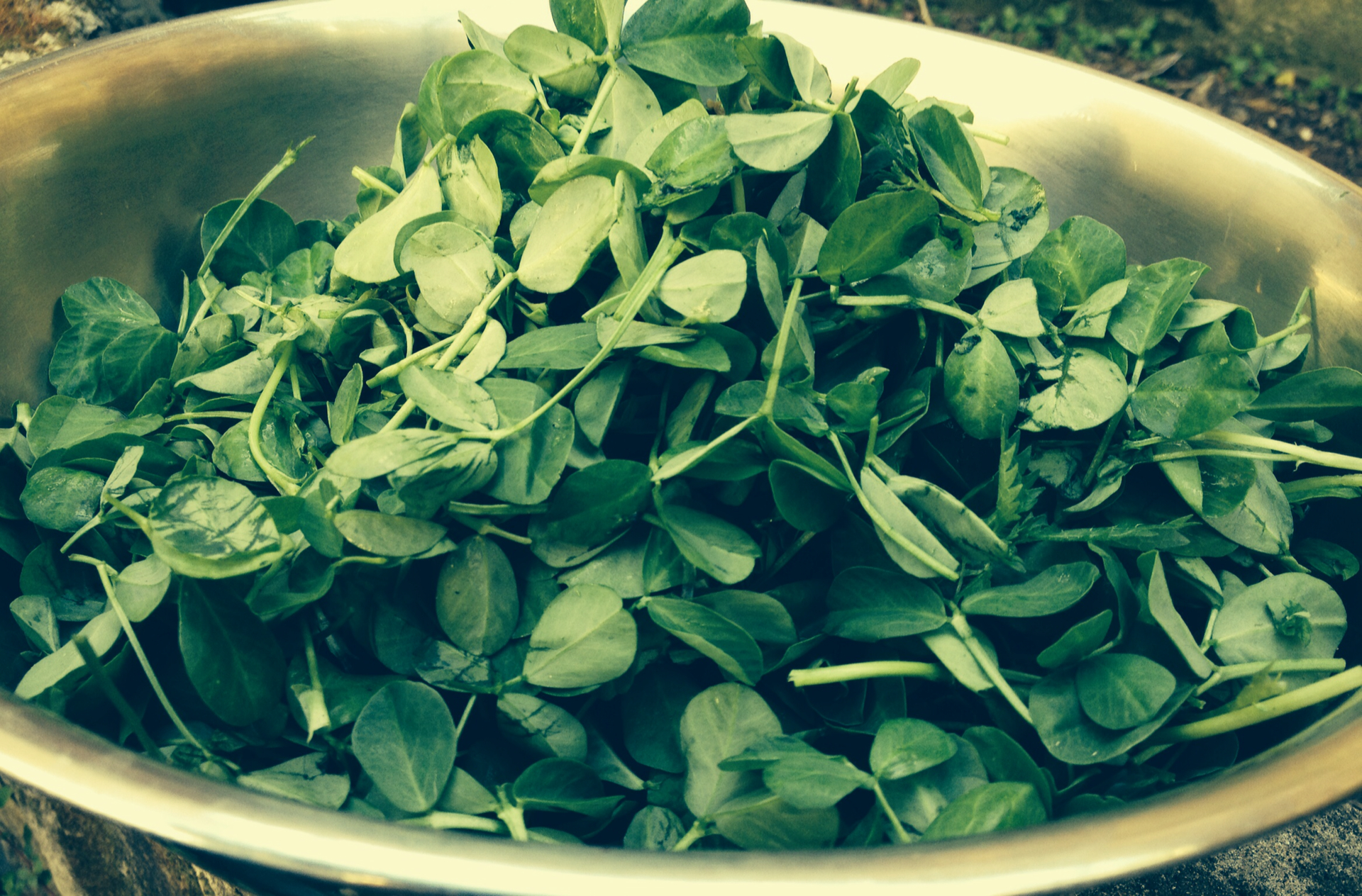Freshly picked fenugreek leaves for tonight's goat curry...