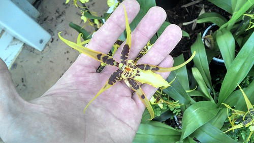 Weird, insect-like orchid flower in my hand
