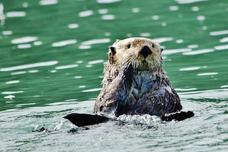 Lone Sea Otter in Cook's Inlet