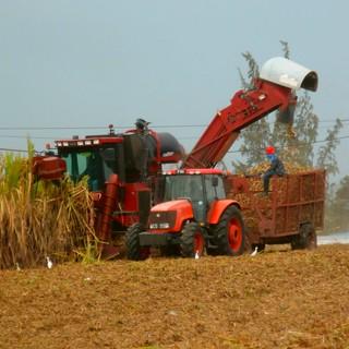 P4170019-Sugar cane Harvest (2015)