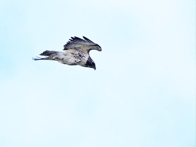 Red-tailed Hawk 20150421