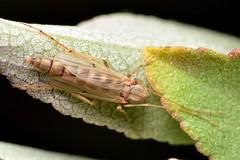 Female Chironomidae Midge