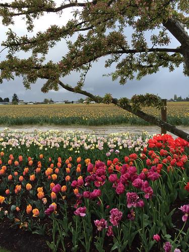 Tulip fields, April 2015