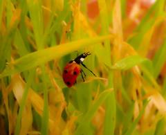 Dancing Ladybug