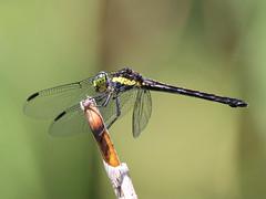 Striped Swampdragon (Agrionoptera longitudinalis biserialis)