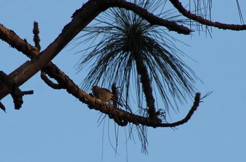 sparrow bachmanssparrow aimophilaaestivalis weymouthwoods peucaeaaestivalis