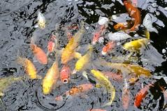 fish, fish, marine biology, koi,