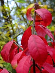 Burning Bush Ablaze