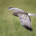 Northern Harrier 20161019_5273 by GORGEous nature